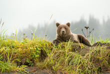 Portrait Of Grizzly Bear Sitting By Beach