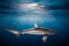 Close Up Of Silky Shark And Fi...