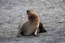 Galapagos Sea Lion Resting On Beach