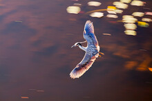 Yellow Crowned Night Heron Fly...