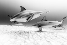 Bull Sharks Swimming In Sea