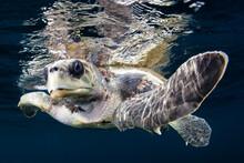 Portrait Of Loggerhead Sea Turtle Swimming In Sea