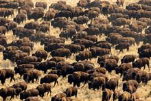 Herd Of Bison Walking On Grass...