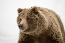 Close Up Of Grizzly Bear On Sn...