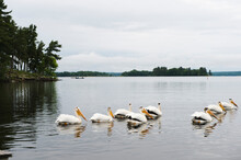 View Of Pelicans Swimming In Water Of Kabetogama Lake