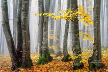 Fog In Ronisoara Forest During...