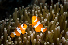 Close Up Of Anemonefish Swimming In Coral Reef