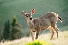 Mule Deer Standing In Field