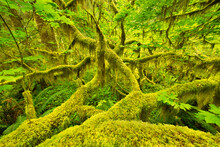 Moss Covered Tree In Hoh Rainforest