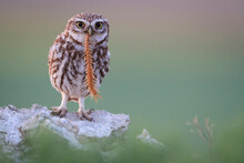Portrait Of Little Owl Holding...