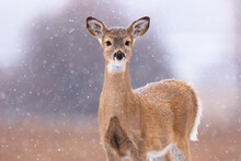 Portrait Of White Tailed Deer Standing In Bitterroot Valley