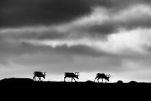 Silhouette Of Reindeers Walkin...