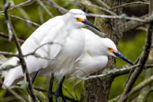 Close Up Of Snowy Egrets Perching On Branch