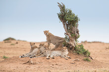 Cheetahs In Maasai Mara, Kenya