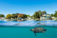 Florida Red Bellied Cooter Swimming In Crystal River