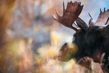 Close Up Of Moose