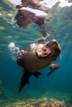 Sea Lions Swimming Underwater