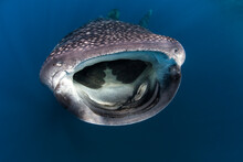 Close Up Of Whale Shark Swimming Undersea