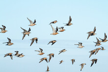 Flock Of Red Knot Flying In Sky