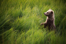Grizzly Bear Cub Standing In G...