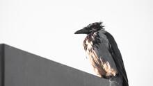 Black Crow Perching On A Light...