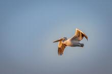 American White Pelican (Pelecanus Erythrorhynchos) In Flight Over Lake Hefner In Oklahoma City