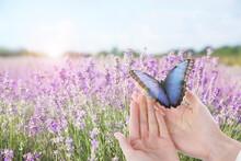 Woman Holding Beautiful Morpho Butterfly In Lavender Field, Closeup