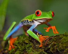 Red-eyed Tree Frog Climbs A Branch At The Edge Of A Rain Forest - Costa Rica