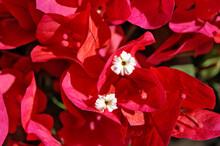 Red Bougainvillea Flowers (Bou...