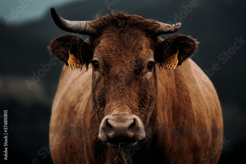 Fotografia A close up of a brown cow with a broken horn looking straight to camera during a
