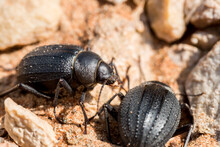 Scarab Beetles Are Found All O...