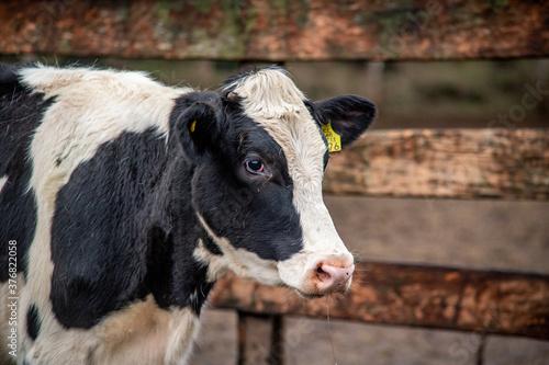 vacas Canvas Print