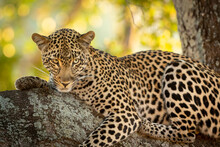 Horizontal Portrait Of An Adult Leopard Lying Down In The Tree In Kruger Park In South Africa