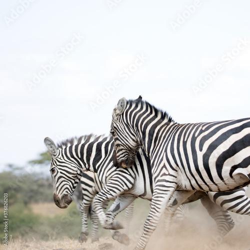 A heard of Zebra (Equus quagga) fighting near a waterhole. Kenya. Square Composition.