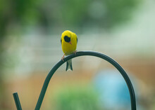 Yellow Bird Looking Down