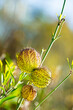 canvas print picture - Balloon plant fruits in the autumn garden. This ornamental plant is Monarch butterfly host plant but also a beautiful addition to floral arrangements. Native to South Africa.