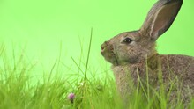 Rabbit Eats Flowers In Grass With Green Background, Close Up Shot