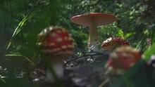 Poisonous Amanita Muscaria Mus...