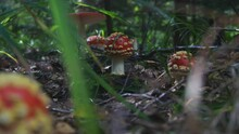 Fly Agaric Or Amanita Muscaria...