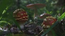 Amanita Muscaria Poisonous Mus...