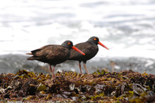 At Low Tide, These Large Shorebirds Can Be Spotted Foraging For Mussels And Other Shellfish. These Two Were Photographed In Greater Farallones National Marine Sanctuary.