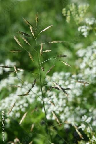 Fototapeta Wildlife perenial white and blue flowers and grasses in countryside blooming mea