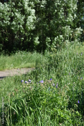 Obraz na plátně Wildlife perenial white and blue flowers and grasses in countryside blooming mea