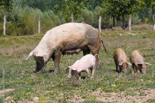 Obraz na plátne Big sow with three pigs in a meadow