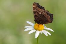 A Wonderful Aglais Urticae Butterfly Dark Brown Sits On A Summer Morning On A Daisy Flower