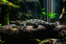 A Small Caimans - Crocodiles On A Log And Rock On A Sunny Day. It Live Throughout The Tropics In Africa, Asia, The Americas And Australia. Wildlife And Animal Concept.