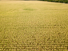 Aerial Drone View. Ukrainian Ripe Cornfield On A Sunny Day.