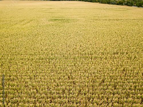 Canvastavla Aerial drone view. Ukrainian ripe cornfield on a sunny day.