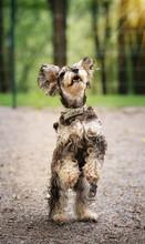 Miniature Schnauzer Dog Stands...