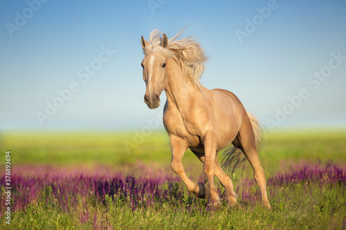 Cremello horse with long mane free run in flowers meadow
